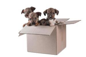 quatre chiots non consanguins dans une boîte en carton sur fond blanc photo