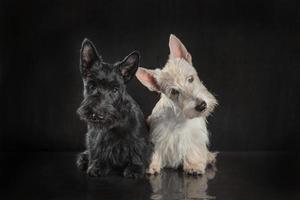 Paire de chiots terrier écossais noir et blanc sur fond sombre photo