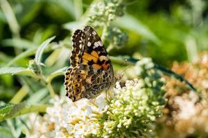 papillon vanessa cardui ou cynthia cardui dans le jardin photo