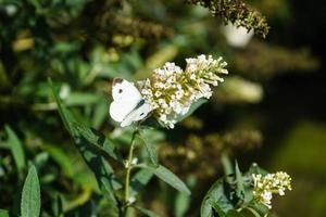 buddleja davidii le buisson aux papillons photo