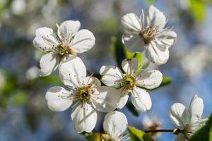 arbres fruitiers en fleurs dans le vieux pays près de hambourg allemagne photo