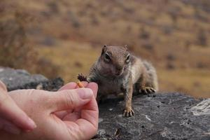 écureuil barbary photo