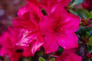 Rhododendron azalée fleurit au printemps photo