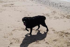 le labrador retriever noir joue sur la plage de blavand danemark photo