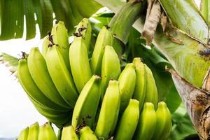 bananes sur une plantation sur l'île de Madère photo