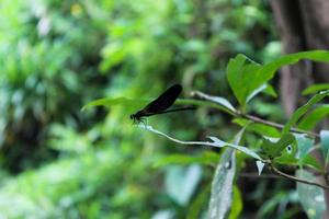 Close up de libellule calopteryx perché sur une branche d'arbre photo