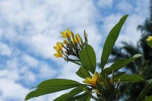 gros plan de fleurs de frangipanier jaune photo