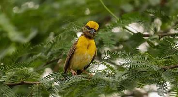 oiseau tisserand assis sur l'arbre photo