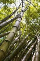 forêt de bambous verts tropicaux. forêt de bambou botanique photo