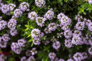 sarriette satureja hortensis délicieuses herbes de cuisine photo