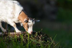 petite chèvre broutant photo