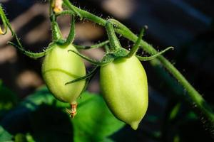 tomates rondes rouges solanum lycopersicum photo