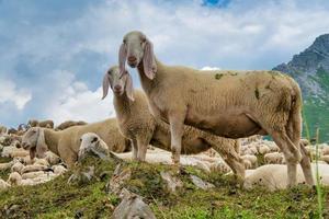 moutons nouvellement tondus paissant dans les montagnes photo
