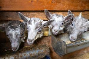 petites chèvres dans l'étable près de la mangeoire photo
