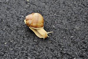 gros escargot en coquille rampant sur route mouillée dépêchez-vous à la maison photo