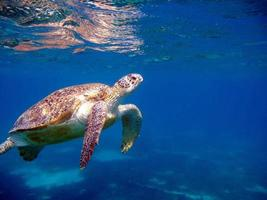 grosse tortue verte sur les récifs de la mer rouge. photo