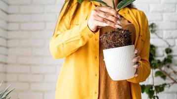 Jardinière femme transplantant un jeune ficus dans un nouveau pot de fleurs photo