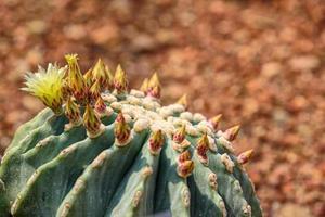 ferocactus glaucescens var. nudum à floraison jaune sur le jardin photo