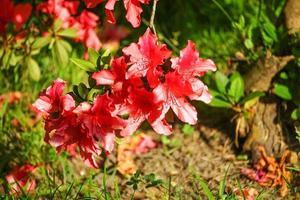 branches de rhododendrons avec des fleurs roses sur fond vert flou. photo