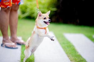 mignon petit chien marchant dans l'herbe devant la maison. photo