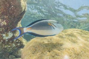 les poissons nagent dans la mer rouge, poissons colorés, eilat israël photo