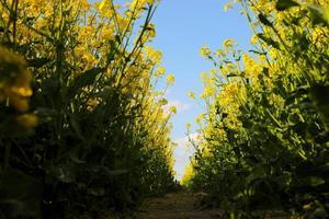 Colza jaune sur fond de ciel photo