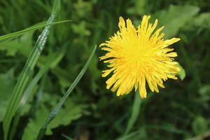 pissenlit jaune ensoleillé lumineux dans l'herbe photo