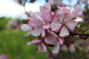 sakura sur fond naturel vert photo