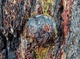 tronc de pruche bouton d'écorce par lac scout près des sœurs ou photo
