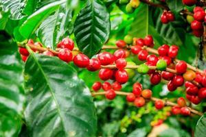 gros plan de la plante de café photo