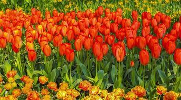 de nombreuses tulipes colorées jonquilles keukenhof lisse hollande pays-bas. photo