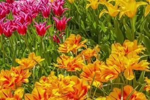 Tulipes colorées jonquilles dans le parc de Keukenhof lisse Hollande Pays-Bas. photo