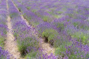 Fleurs de lavande coucher de soleil sur un fond de champ de lavande violet d'été photo