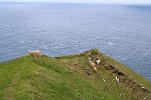 Portrait de moutons sur les îles Féroé photo