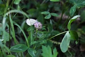 papillon blanc sur une fleur rose dans l'herbe verte des prés photo