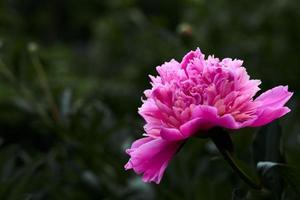 pivoine fleur rose sur fond d'herbe verte. photo