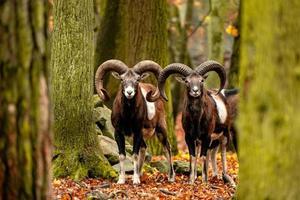 chèvres de montagne sauvages dans la forêt d'automne photo