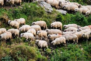 moutons au pâturage photo