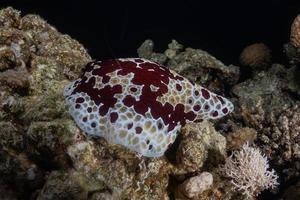limace de mer dans la mer rouge colorée et belle, eilat israël photo