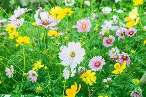 fleur de dianthus dans le jardin photo