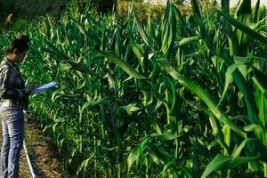 jeune agriculteur observant quelques cartes de maïs en dépôt photo