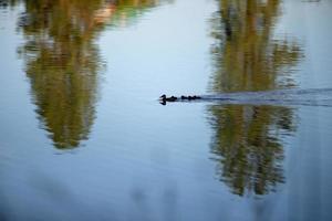 famille de canards sauvages sur un petit lac à l'état sauvage photo