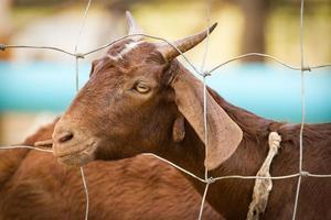 chèvre brune à l'intérieur d'une clôture en acier dans une ferme locale photo
