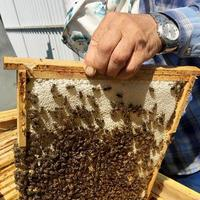 l'abeille ailée vole lentement vers l'apiculteur pour recueillir le nectar photo
