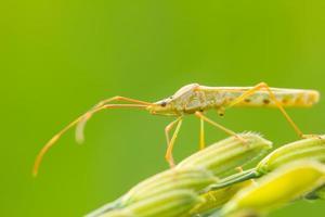 insecte sur un épi de riz photo