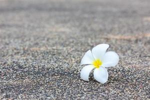 fleur de plumeria blanche sur la texture du béton photo