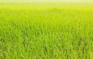 rizière fraîche hors saison photo