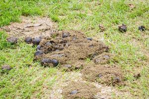 excréments de cheval sur l'herbe verte photo
