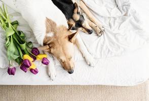 deux chiens allongés sur le lit à la maison avec un bouquet de tulipes photo
