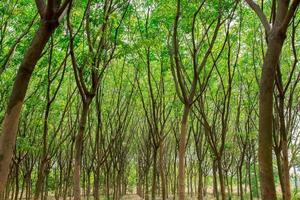 arbre à caoutchouc vert photo
